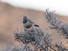 Cactus Wren Perched On Branch
