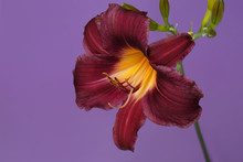 Burgundy Daylily Flower Isolat...