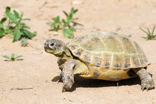 The Russian Tortoise (Agrionemys Horsfieldii), Also Commonly Known As The Afghan Tortoise, The Central Asian Tortoise. Kyzylkum Desert, Uzbekistan, Central Asia.