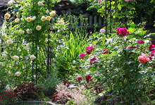 Beautiful Rose Garden With A F...