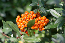 Bunch Of Orange Firethorn Berries Surrounded With Leaves