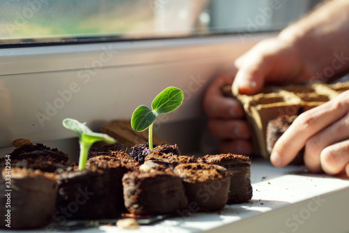 close up of a young zucchini plant growing on a seedling pellet on a window board
