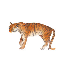 Watercolor Tiger Illustration. Wild Animal Isolated On White Background. Cat Predator Clip Art