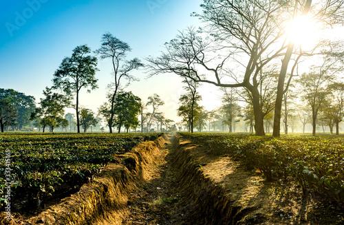 ASSAM TEA GARDEN IN INDIA UNDER THE SUN AND BLUE SKY Canvas Print