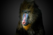 Portrait Of Male Mandrill Monk...
