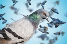 Close View On Pigeon. Many Pig...