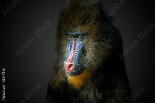 Fotografia Portrait of male mandrill monkey on black background.