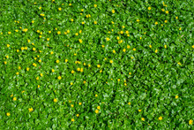 Fresh Vibrant Yellow Spring Flowers, Leaves Wall. Live Wall Of Flowerscape. Green Grass With Blooming Spring Flowers Pattern In Garden Background. Flat Lay, Copy Space For Text