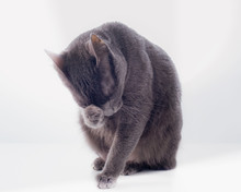 A Russian Blue Cat Pondering With Its Feet On Its Face.