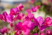 Pink Bougainvillea Flowers In ...