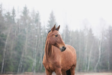 Portrait Of Brown Horse On A Forest Background