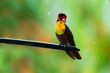 A Ruby Topaz Hummingbird Looki...