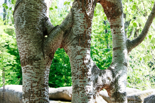 Anomaly in nature. A crooked crossed tree. Canvas Print