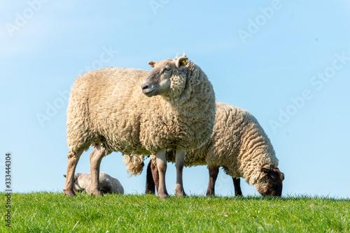 Deutschland, Niedersachsen, Ostfriesland, Emden, Schafe weiden auf dem Seedeich Canvas Print