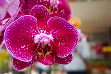 Pink Orchid Isolated On Blur B...