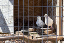 A Pair Of White Spotted Doves In A Cage On Display At Bluebird Gap Farm Park In Hampton, VA.