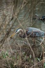 Blue Heron In Swamp Water