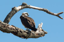An Osprey Perched In A Tree.
