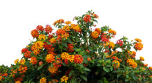 Red And Yellow Lantana Camara ...