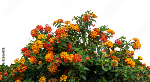 Fotomural Red and yellow Lantana camara flowers isolate on white background