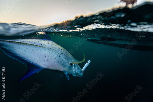 Fototapeta fishing and catching a trevally
