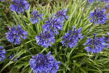 The Purple Blue Flowers Of A Aganpanthus Orientalis Plant