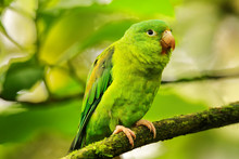 Orange-chinned Parakeet (Broto...