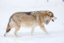 Canis Lupus Walking On Snow In...