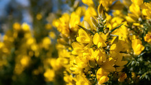 Yellow Gorse Flowers Blooming In Soft Spring Sunshine