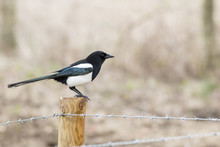 Eurasian Magpie Or Black Billed Magpie Perched On A Wooden Fence Post, Looking Right, Above Barbed Wire