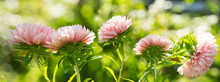 Aster Flowers On Green Background