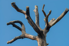Branches Of An Ancient Tree Ag...
