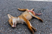 Dead Fox Roadkill On A Rural R...