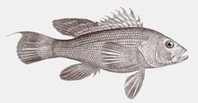 Black Sea Bass, Centropristis ...