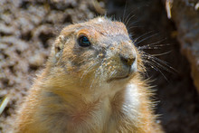 Close Portrait Of A Black-tailed Prairie Dog