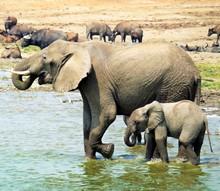 Elephant With A Small Elephant...