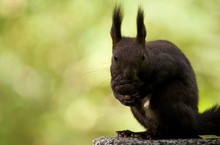 Squirrel Walking In Graveyard At Sunny Day Eating Walnut