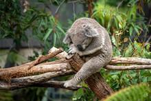Koala Bear Sleeping In A Tree Peacefully