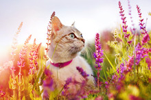 Portrait Of A Cat At The Blooming Meadow