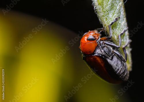 Beetle on a leaf Canvas Print