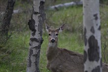Deer Standing Between Two Trees Behind The Grass In Banff And Jasper National Parks