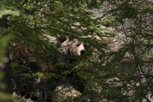 Bear Surrounded By Trees In Banff And Jasper National Parks