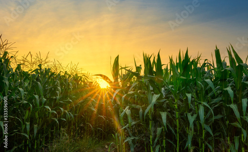 Vászonkép green corn field in agricultural garden and light shines sunset