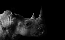 Rhino With Black Background