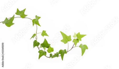 Valokuva green ivy isolated on a white background.
