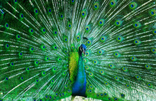 Beautiful Peacock .
