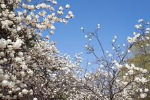 Magnolia On Blue Sky Background