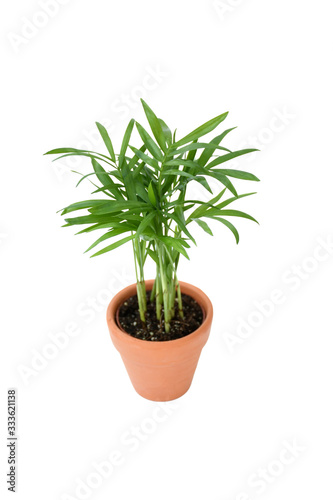Photo Small plant palm tree Howea Kentia growing in brown pot with green leave isolated on white background, indoor palm for decorative in house