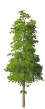 Evergreen Tall Coniferous Pine...