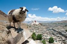 Sheep On Tibetan Plateau